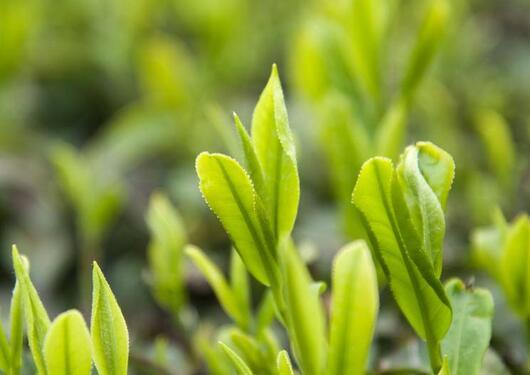 绿茶中十大名茶有哪些