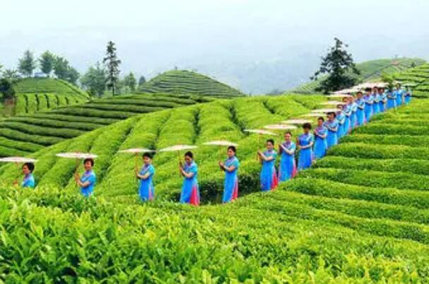 桂东玲珑茶